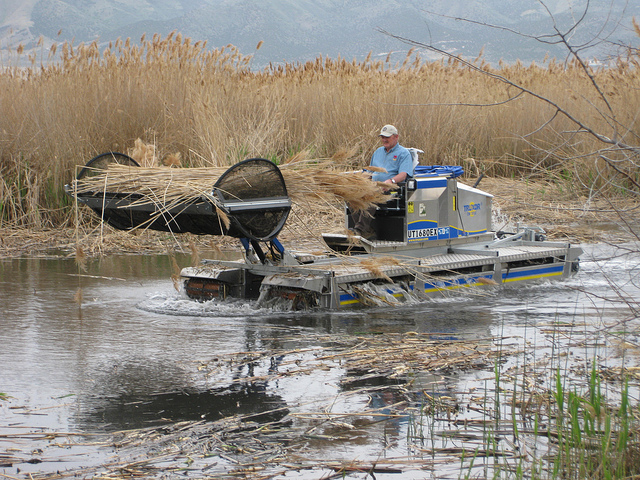 Phragmites removal at the Great Salt Lake